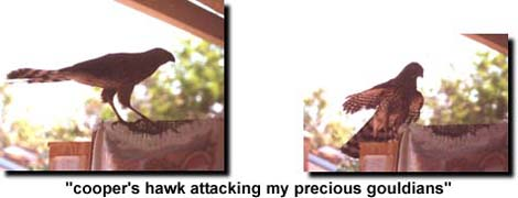 Hawk attacking my Gouldians